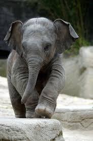 Boppy Baby Chair Elephant Walk by Best 25 Baby Elephant Walk Ideas On Pinterest Elephants Baby