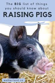 84 Best Raising Pigs Images On Pinterest | Backyard Farming, Farm ... Which Pig Find Your Next Thing Modern Farmer Pigs Pigs And More Pigs Backyard Chickens Raising Feeder Concrete Or Pasture Farm Fresh For Life Figueroa Breeding Gguinto Bulacan Youtube For The First Time Page 2 Pastureraised Pork Grows In Popularity Missippi A Balancing Act Being A Mom Wife Backyard Hogswine Cambodian Case Study Inrgrated Fish Farming The Site How To House Fence Price Of Illinois Poisoned Creeks Yet Limited 223 Best Images On Pinterest Farms