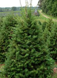 Balsam Christmas Tree Care by Choosing The Right Christmas Tree Msu Extension