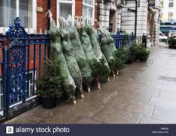 Fraser Fir Christmas Trees Uk by Real Christmas Trees Stock Photos U0026 Real Christmas Trees Stock