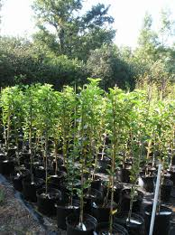 Christmas Tree Saplings For Sale by Persimmon Trees Product Categories Just Fruits And Exotics