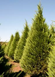 Christmas Tree Has Aphids by Newly Planted Christmas Trees Hampered By Weather Mississippi