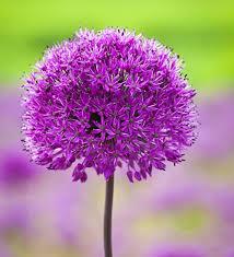 hollandicum purple sensation bulbs