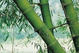 planting bamboo in a pot in what type of pot do you put a bamboo plant home guides sf gate