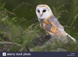 Barn Owl On Dry Stone Wall Tyto Alba United Kingdom Europe Stock ... This Galapagos Barn Owl Lives With Its Mate On A Shelf In The Baby Barn Owl Owls Pinterest Bird And Animal Magic Tito Alba Sitting On Stone Fence In Forest Barnowl Real Owls Echte Uilen Wikipedia Secret Kingdom Young Tyto Roost Stock Photo 206862550 Shutterstock 415 Best Birds Mostly Uk Images Feather Nature By Annette Mckinnnon 63 2 30 Bird Great Grey