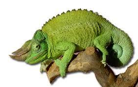 Basking Lamp For Chameleon by How To Care For Your Jackson U0027s Chameleon Veiled Chameleon
