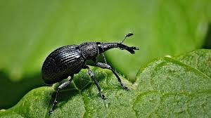 schwarze käfer häufige arten und die bekämpfung