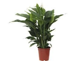 einblatt floraself spathiphyllum wallisii h 90 105 cm ø 21 cm topf