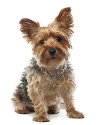 No Shed Small Dogs by 872 Best Man And Dog Images On Pinterest Dog Dogs And Mini