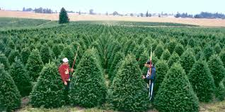 Nordmann Fir Christmas Tree Seedlings by Wholesale Christmas Trees From Oregon