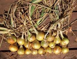 how to grow onions growing vidalia purple