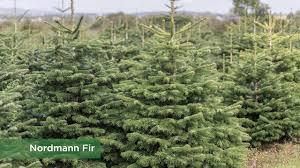 Nordmann Fir Christmas Tree Nj by Christmas Real Tree Varieties Youtube