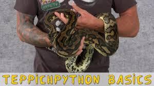 reptil tv folge 95 teppichpython carpet python basics