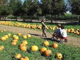 Livermore Pumpkin Patch by Pumpkin Patch Livermore 住めば都 ベイエリアの日々