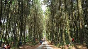 Pinusan Kragilan Tempat Selfie Baru Di Jogja Dengan Latar Hutan Pinus