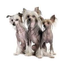 Small Non Shedding Dogs For Seniors by Chinese Crested