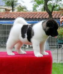 Do Akita Dogs Shed Hair by Everything About Your Akita Luv My Dogs
