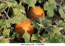 Northern Illinois Pumpkin Patches by A Pumpkin Patch In Hebron Illinois Stock Photo Royalty Free