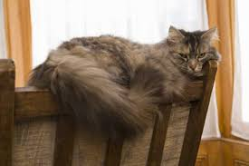 Do Maine Coons Shed In The Summer by What Kind Of Cat Looks Like It Has A Lion U0027s Mane Pets