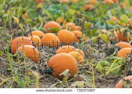 Pumpkin Patch In Long Island New York by Pumpkin Patch Vertical Mode Hedge Row Stock Photo 485755144