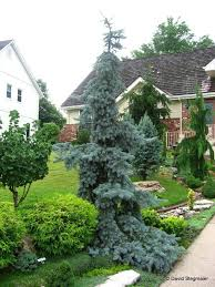 Conifer Weeping Blue Spruce Photo Contest Winners And Black Friday Sale