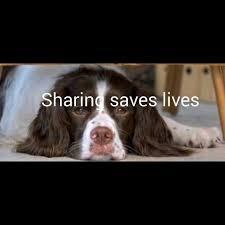 Springer Spaniel Shed Hunting by Spaniels For Adoption In Ireland Home Facebook