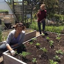 Growing Mosquito Repellent In Your Garden The Star