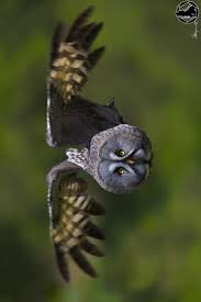 1538 Best OWLS Images On Pinterest | Owl Photos, Beautiful Birds ... 3716 Best All About Owls Images On Pinterest Barn Owls Nature Winter Birding Guide Lake Champlain Region 53 Flight At Night Owl Species Farm House England Stock Photos Images 1538 Owls Photos Beautiful Birds 2552 Give A Hoot Children Large White Carraig Donn Mayo Sghilliard Glass Studio Little Opens In Westport Food Drink Nnecticutmagcom 250 Love You Always