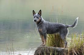 blue heeler blue heeler pet insurance dog breed