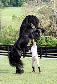 Majestic Black Andalusian The Andalusian, Also Known As The Pure ... Wall Decal Lion Mane Wild Cat Beast Predator Animal King Vinyl Retro And Rusty Oh And Me Photo Stuff To Buy Pinterest Circus Mania May 2014 Suicide Is Painless Hepatitus Used Car Parts Mcton Youtube The Parts Of A Horse Sema 2016 Killer Builds 2_1759_58247161348608762_ojpg 20481536 Manes Truck Home Facebook Fence Barnstorming Carr Day Martin Canter Tail Cditioner 1 Litre