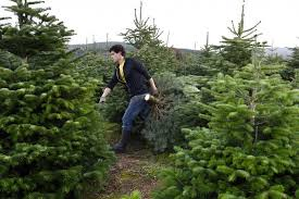 Balsam Christmas Tree Care by How To Buy A Real Christmas Tree Purchase And Care Tips To Make