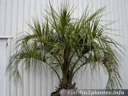 palmier du brésil butia capitata