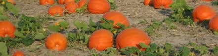 Pumpkin Farms In Bay County Michigan by Events Johnson U0027s Giant Pumpkins Llc