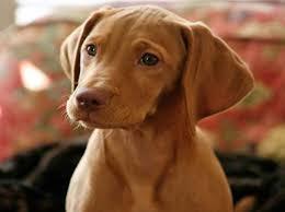 do vizsla dogs shed the vizsla aristocratic hungarian