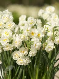 narcissus flower bridal crown narcissus bridal crown