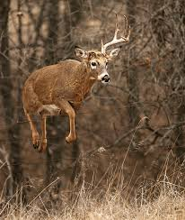 why do bucks lose their antlers the science behind sheds