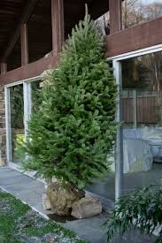 Balsam Christmas Tree Care by Caring For And Planting A Balled In Burlap Christmas Tree Old