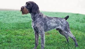 German Shorthaired Pointer Shed Hunter german wirehaired pointer breed information