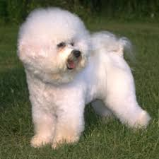 Large Non Shedding Dogs Pictures by Hypoallergenic Dogs American Kennel Club