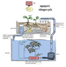 Aquaponics Work Justines Aquaponics Which Cycles Water Through A Fish Pond And Hydroponics Systems With Fish An Post About Backyard Aquaponic Kijani Grows Will Bring Small Internet Connected Aquaponics Without Simple Diy Reviewhow To Make For Sale Visit My Personal Diy How To Design Home Best 25 Ideas On Pinterest Diy E A View Topic Lyndons System Expansion Ibc Razor Family Farms Review I Could Probably Start Growing Own Tilapia Exposed Photo On Cool