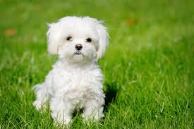 Non Shedding Dog Breeds Small by 15 Types Of Small Dog Breeds That Don U0027t Shed They Are Perfect For