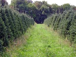 Fraser Fir Christmas Trees Nc greene tree farm boone nc choose and cut christmas trees photos