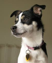 Blue Heeler Lab Mix Shedding by Rat Terrier Info Temperament Care Puppies Pictures