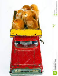 100 Toy Trucking Chickens Baby Chicks In Vintage Truck Stock Photo