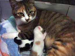 cats mating cat pregnancy and cat mating