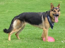 Non Shedding Dogs Large by 7 Things You Need To Know Before Buying A German Shepherd U0026 Lab