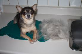 Excessive Hair Shedding In Dogs by How To Stop Your Dog From Shedding Jones Chihuahuas
