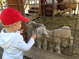 Pumpkin Patch With Petting Zoo by Silicon Valley Toddler And Beyond Toddler Favorites Ardenwood