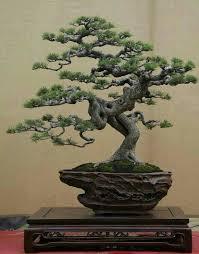 pot bonsai grande taille épinglé par eugene sur h8 bonsai 4 bonsaï bonzaï