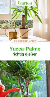 yucca palme gießen so geht s richtig pflanzen yucca